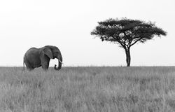 Elephant standing next to Acacia tree Stock Image