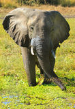 An  Elephant standing next to the bank in South Luangwa Royalty Free Stock Images