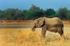 An  Elephant standing next to the bank in South Luangwa Stock Image