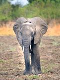 Elephant standing posing for the camera in South Luangwa, Zambia Stock Image