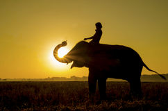 Elephant standing in a rice field with the mahout Royalty Free Stock Photos