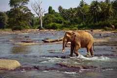 Elephant standing in the river Stock Photo