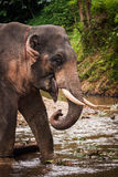 Elephant standing in river in the rain forest of Khao Sok sanctuary, Thailand Stock Photos