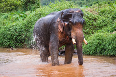 Elephant standing in river in the rain forest of Khao Sok sanctuary, Thailand Royalty Free Stock Photos