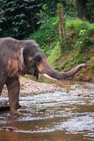 Elephant standing in river in the rain forest of Khao Sok sanctuary, Thailand Stock Photo