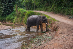 Elephant standing in river in the rain forest of Khao Sok sanctuary, Thailand Stock Photography
