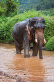 Elephant standing in river in the rain forest of Khao Sok sanctuary, Thailand Stock Image