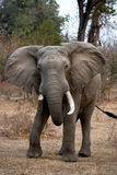 Elephant standing on the road. Zambia. South Luangwa National Park. Royalty Free Stock Images