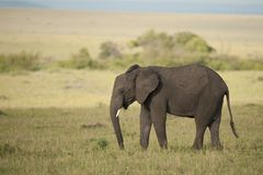 Elephant in the Savannah Royalty Free Stock Images