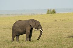 Elephant in the Savannah Royalty Free Stock Photos
