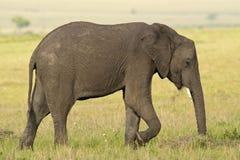 Elephant in the Savannah Royalty Free Stock Photo