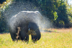 An  Elephant standing spraying water  Stock Photo
