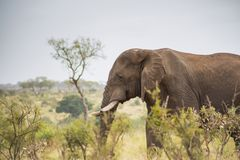 Elephant standing in the tall grass stock photo