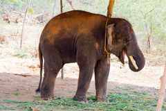 Elephant standing under a tree & eating grass with locked at toe by chain rope at zoo. A young elephant standing nearby tree with chain rope locked in national royalty free stock image