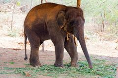 Elephant standing under a tree & eating grass with locked at toe by chain rope at zoo. A young elephant standing nearby tree with chain rope locked in national stock photography