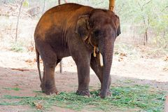 Elephant standing under a tree & eating grass with locked at toe by chain rope at zoo. A young elephant standing nearby tree with chain rope locked in national stock photo