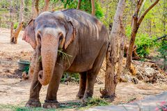 Elephant standing under a tree & eating grass with locked at toe by chain rope at zoo. A young elephant standing nearby tree with chain rope locked in national stock images