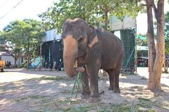 Elephant is standing under the tree. Elephant,  standing under the tree,  it was have an interpreter with the chain Stock Photo