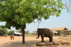 Elephant. An elephant standing under the tree in a elephant village stock images