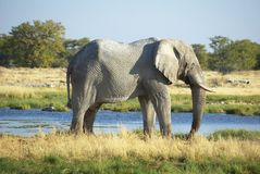 Elephant standing at waterhole Royalty Free Stock Photo