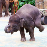 Elephant stands with front legs. The Asia elephant stands with front legs in the elephant show Royalty Free Stock Photo