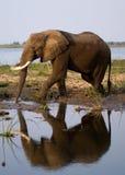 The elephant stands next to the Zambezi river with reflection in water. Zambia. Lower Zambezi National Park. Zambezi River. Royalty Free Stock Photos