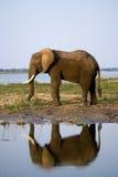 The elephant stands next to the Zambezi river with reflection in water. Zambia. Lower Zambezi National Park. Zambezi River. Stock Image