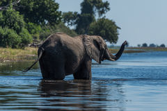 Elephant stands in shallow river raising trunk Stock Image
