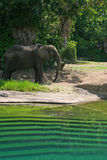 Elephant Stands by Water. Elephant stands by pool of water and thinks Royalty Free Stock Images