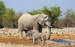 An elephant stands by a waterhole with a zebra close by Royalty Free Stock Photography