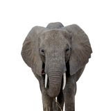 Elephant stare. Elephant staring at you with two eyes and floppy ears Stock Image