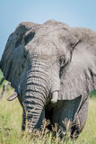 Elephant starring at the camera. Royalty Free Stock Photo