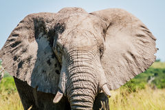 Elephant starring at the camera. Stock Photo