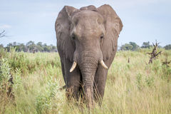 Elephant starring at the camera. Stock Image