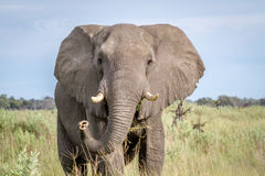 Elephant starring at the camera. Royalty Free Stock Image