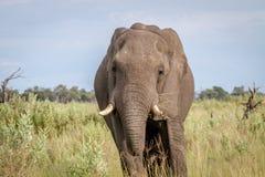 Elephant starring at the camera. Royalty Free Stock Photos