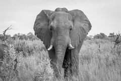 Elephant starring at the camera. Stock Images