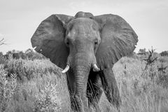 Elephant starring at the camera. Royalty Free Stock Images