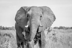 Elephant starring at the camera. Royalty Free Stock Photography
