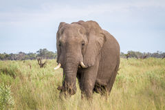 Elephant starring at the camera. Royalty Free Stock Photos