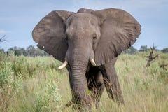 Elephant starring at the camera. Royalty Free Stock Photo