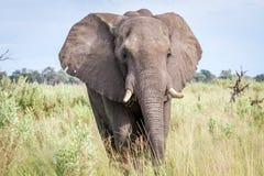 Elephant starring at the camera. Stock Photos