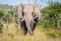 Elephant starring at the camera. Stock Photos