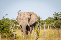 Elephant starring at the camera. Stock Photography