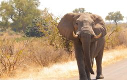 Elephant stopped in the road. Observing us in kruger national park south africa stock photos