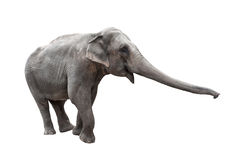 Elephant with stretched trunk isolated Stock Photo