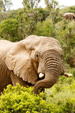 Elephant stretching to the branch with his trunk Royalty Free Stock Photos