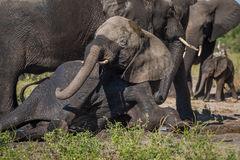 Elephant struggles to stand in elephant herd Stock Photography