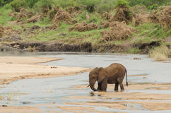 Elephant stuck in river. Large African Elephant Loxodonta africana crossing River, Kruger National Park, South Africa Stock Photography