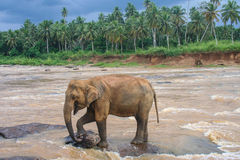 Elephant on submerged rock in river on edge of jungle Stock Image
